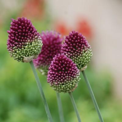 Allium moyen Sphaerocephalum