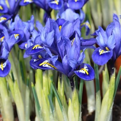 Iris botanique Harmony