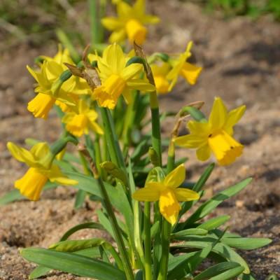Narcisse botanique tête à tête