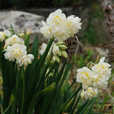 Narcisse à bouquet Erlicheer