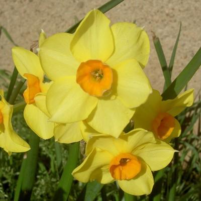 Narcisse à bouquet Falconet