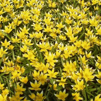 Tulipe botanique Tarda