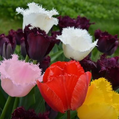 Tulipe dentelle varié