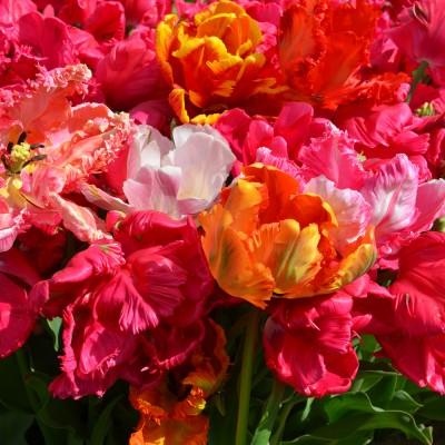 Tulipe perroquet varié