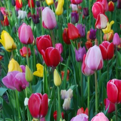 Tulipe triomphe varié