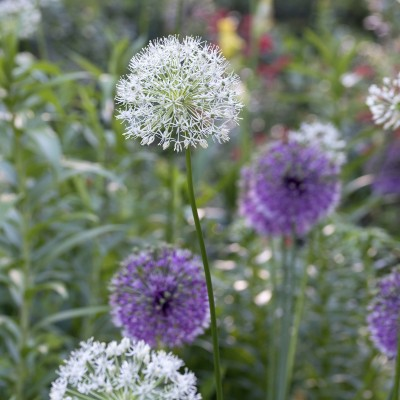 Allium moyen varié
