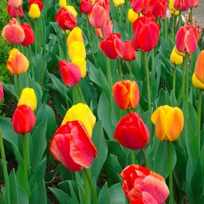 Tulipe darwin hybride varié